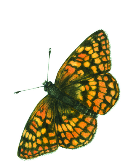 Northern Checkerspot Small