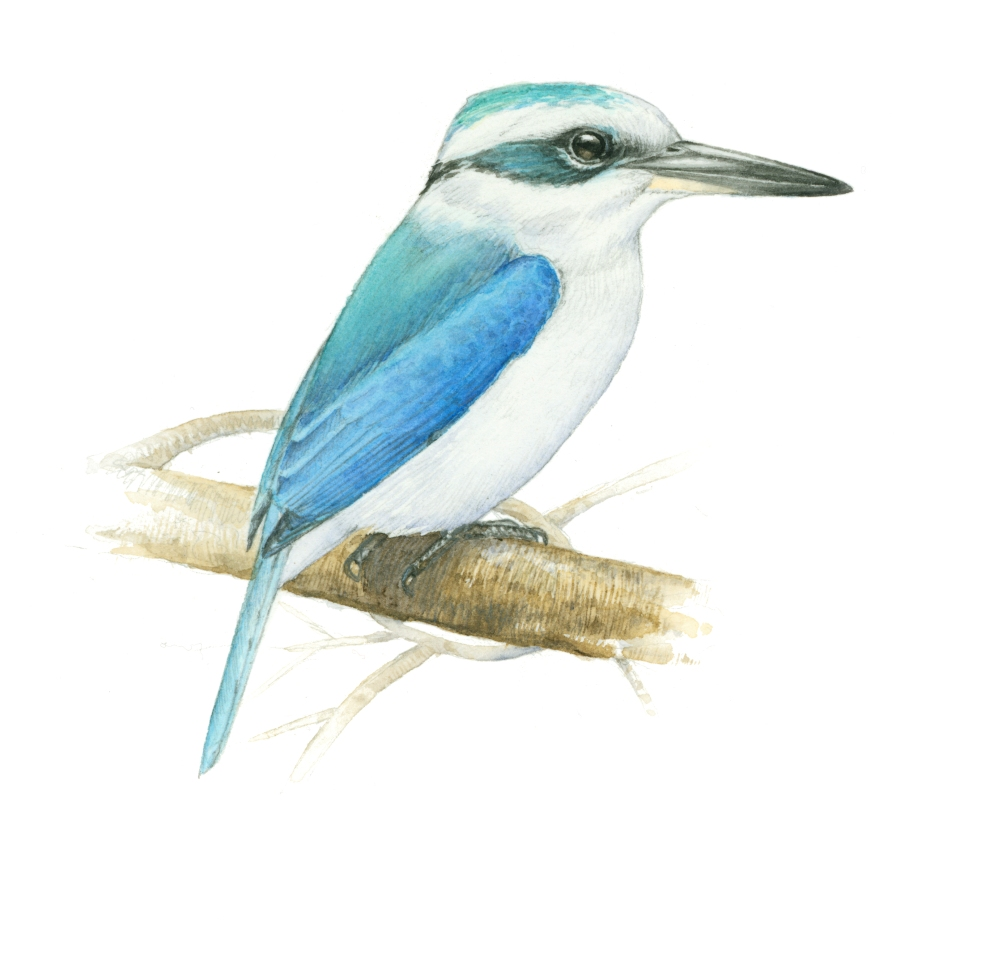 chattering kingfisher